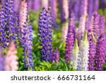 lupinus  lupin  lupine field... | Shutterstock . vector #666731164
