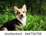 dog breed welsh corgi pembroke... | Shutterstock . vector #666736708