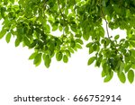 branch with fresh green leaves... | Shutterstock . vector #666752914