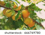 Ripe Sweet Apricot Fruits...
