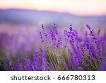 lavender flowers field. violet... | Shutterstock . vector #666780313