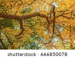 Ginkgo Leaf On Tree  Autumn...
