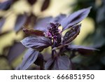 the purple basil grows in the... | Shutterstock . vector #666851950