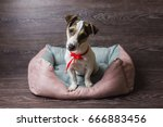 Stock photo jack russell terrier in lounger dog bed dog in front of dark wooden background 666883456