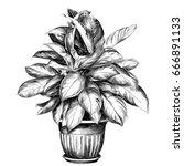 the flower pot aglaonema sketch ... | Shutterstock .eps vector #666891133