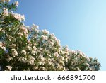 A Tree Of Oleander With Flower...