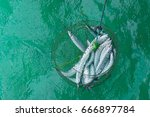 Small photo of top view of net bag which contain many fishes is hanging above green aqua water of sea. Ablennes hians (Valenciennes) / Barred Long Tom
