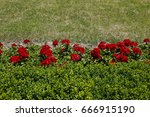 green lawn  geraniums and hedge   Shutterstock . vector #666915190