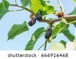 fresh mulberry  black ripe and... | Shutterstock . vector #666916468