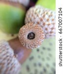 Small photo of Cap of an acorn. Three acorns close