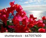 pink bougainvillea flowers on... | Shutterstock . vector #667057600