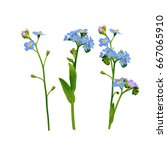 forget me not flowers isolated... | Shutterstock . vector #667065910