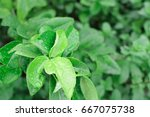 lime tree top and fresh green... | Shutterstock . vector #667075738