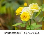 Stock photo beautiful roses in garden roses for valentine day 667106116