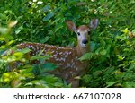 White Tailed Deer Fawn  In A...