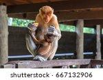 proboscis monkey with baby...   Shutterstock . vector #667132906