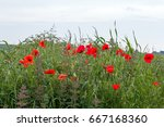 poppies growing on the south...   Shutterstock . vector #667168360