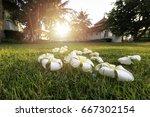 plumeria tropical spa flower in ... | Shutterstock . vector #667302154