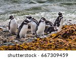 Colony Of Magellanic Penguins...