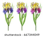blue  pink and violet iris... | Shutterstock . vector #667344049