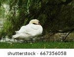 White Swan Near The Lake And...