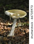 Small photo of Death Cap Fungi - Amanita phalloides Growing on Cotswold Beechwood floor