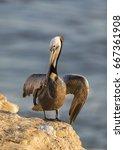 A Brown Pelican  Pelecanus...