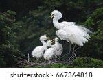 great egret  common egret ... | Shutterstock . vector #667364818