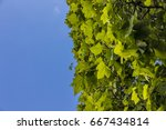 lush green foliage on clear... | Shutterstock . vector #667434814