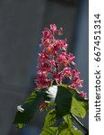 Small photo of Red horse-chestnut, Aesculus hippocastanum or Conker tree with flower and leaf, Sofia, Bulgaria