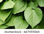 kava plant from  polynesia | Shutterstock . vector #667455064