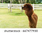 Brown Alpaca On Grass Field...