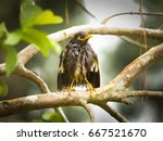Small photo of wet Common mynah bird on tree ( Acridotheres tristis )