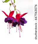 Fuchsia Flowers On White...