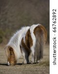Shetland Pony Grazing On Grass