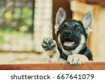 Stock photo close up portrait of puppy german shepherd east european shepherd dog shallow focus copy space 667641079