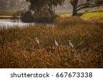 Three Great Egrets  Ardea Alb...