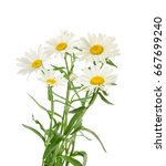 chamomiles isolated on white...   Shutterstock . vector #667699240
