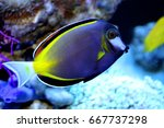 Small photo of marine fish live in coral reef under the sea, popular to used as a pet in an aquarium or home fish tank.Japan surgeonfish, Acanthurus japonicus, Acanthuridae.