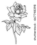 Stock photo hand drawn garden rose flower isolated on white background beautiful lush flower on a stem with 667748398