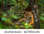 Stock photo indian tiger male with first rain wild animal in the nature habitat ranthambore india big cat 667856146