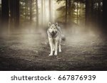 Small photo of Grey Wolf Portrait - captive animal Magical forest dawn