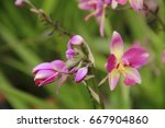 the beauty of pink petal flower ... | Shutterstock . vector #667904860