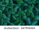 nettle leaves close up. top...   Shutterstock . vector #667946464