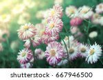 daisy flower. photo wallpaper ... | Shutterstock . vector #667946500