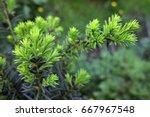 yew tree  taxus cuspidata .... | Shutterstock . vector #667967548