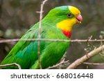 Wild Superb Parrot  Canberra ...