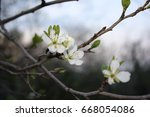 white flowers of an apple tree... | Shutterstock . vector #668054086