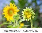 sunflower in field  | Shutterstock . vector #668094946