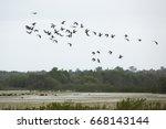 Flock Of Glossy Ibises ...